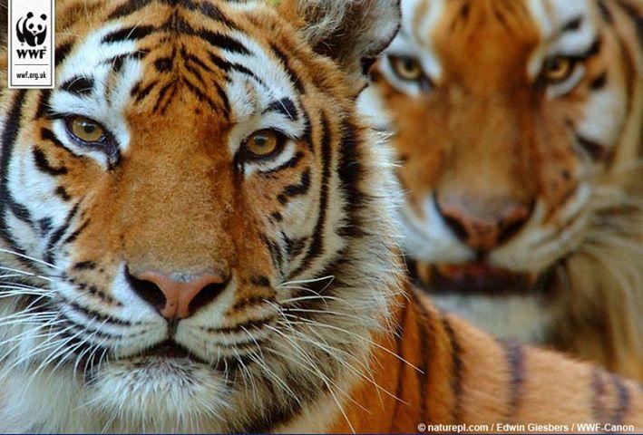 TigerWWF
